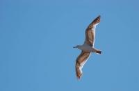 Чайка в полёте над Генуэзской крепостью