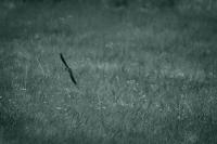 Ласточка в полете