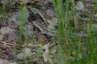 Коричневая ящерица в траве в лесу