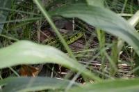 Зелёная ящерица в траве
