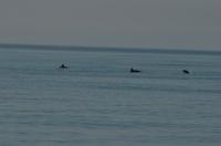 Дельфины в море ныряли возле берега
