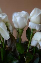 Свежие белые молодые розы вблизи