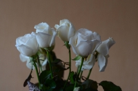 Свежие белые маленькие розы