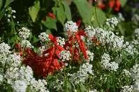 Белые и красные цветы на клумбе