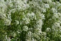 Белые полевые цветы на клумбе