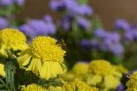 Бархатцы прямостоячие и пчела