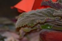 Бархатный листик фиалки в вазоне
