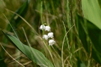 Ландыши в траве на поляне в лесу
