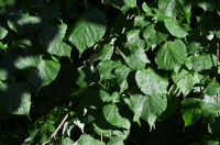 Групповое фото мокрых листьев кустарника