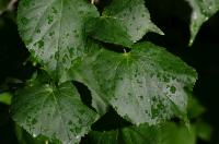 Мокрые зелёные листики кустарника после дождя