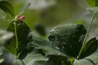 Бархатистая поверхность листика с пухом и каплей воды