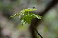 Молодные листья клёна