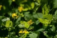 Красивые маленькие жёлтые цветки в зелёной траве