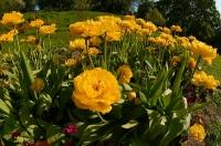 Маленькая желтая клумба в ботаническом саду в Киеве