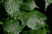 Листья после дождя вечером