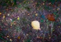 Осенний кустик с двумя контрастными листиками