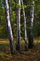 Березы осенью на фоне ярких желтых и ещё зелёных листьев