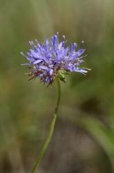 Фиолетовый цветок в лесу похожий на клевер