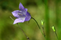 Красивый цветок колокольчик в тени деревьев