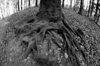 Оголённые корни дерева в ботаническом саду Киева