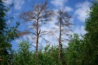 Два сухих дерева в лесу под Киевом на фоне яркого синего неба